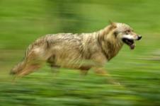 wolf nk 20